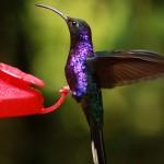 colibri violet sabrewing COSTA-RICA