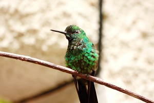 COLIBRI green crowned brillant