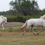 chevaux camarguais1