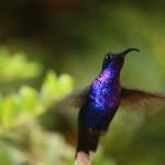 colibri violet COSTA RICA