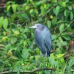 heron bleu cendre COSTA RICA