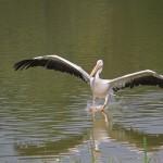 pelican-atterissage