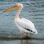 pelican occidental