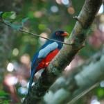 trogon de massena COSTA RICA