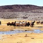 vallée ESCONDIDO troupeau lamas
