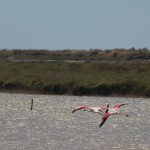vol flamants CAMARGUE