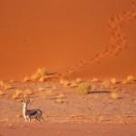 SOSSUSVLEI impala#2