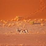 SOSSUSVLEI impala