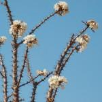 Pachypodium en fleur