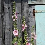 cabane et roses tremières