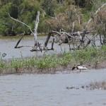 tadorne de belon dans marais