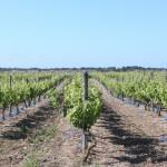 vignes de l ile de Ré